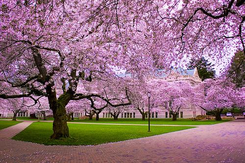 Cherry tree species (Prunus spp.) in its full glory