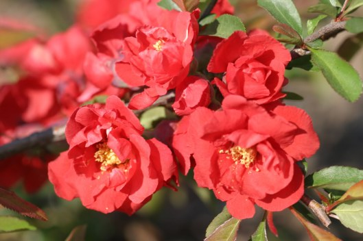 Close up of flowering quince