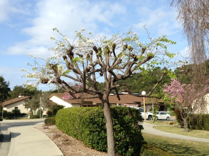 Bad pruning & bad timing for this flowering pear