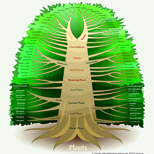 Kingdom_Plantae_Diagram