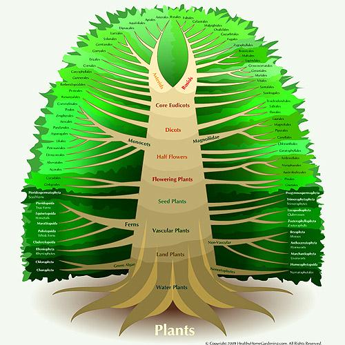 Kingdom_Plantae_Diagram