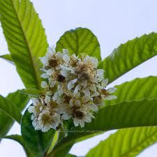 Loquat species (Eriotryba japonica) in bloom