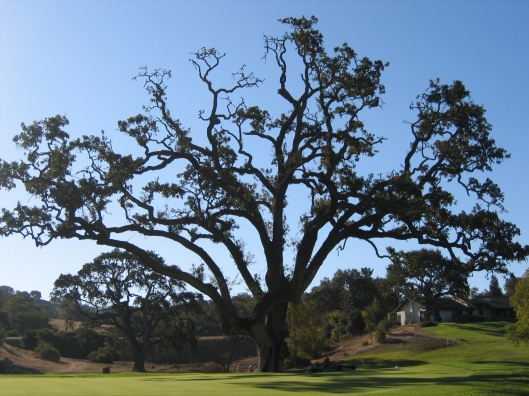 A Coast Live Oak (Quercus agrifolia) on a wide expanse of lawn is a red flag.