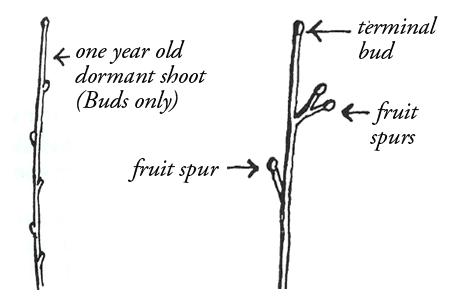 fruit-buds-spurs